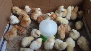 Pollitos de gallinas ponedoras y de carne