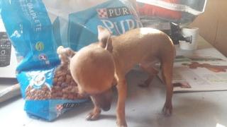 Chihuahua 100% pura