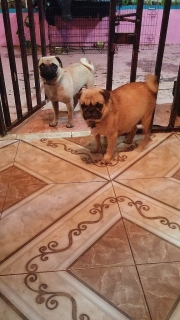 "pugs color ""fawn"""