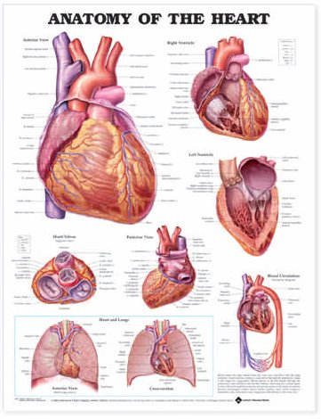 Anatomy of the Heart. 20X26 Paper Chart. Cover Image