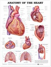 Anatomy of the Heart. 20X26 Laminated Chart. Cover Image