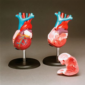 Budget Life-Size Heart Model Image