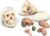 Miniature Skull with 8-Part Brain Image