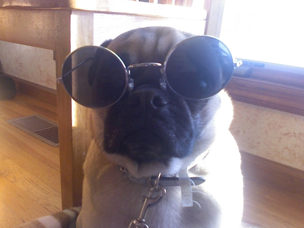 Pugs Sunglasses
