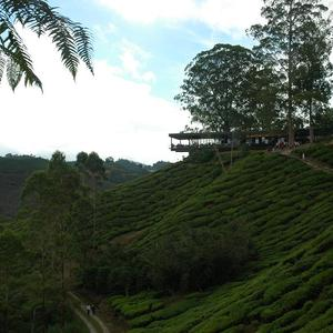 Boh Tea Plantation - Sungei Palas - Cameron Highlands