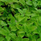 Lemon balm from Earth