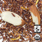 Organic Vanilla Almond Rooibos from Arbor Teas