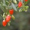 Goji Berries from Sunfood