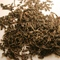 Black Manas from Teajo Teas