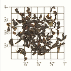 Kairbetta Estate Nilgiri BOP CL/CH (TN82) from Upton Tea Imports
