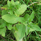 Wild Mint from Gold Creek