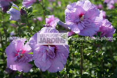 hibiscus de jardin persistant affordable hibiscus rosa sinensis rose de chine ketmie china rose. Black Bedroom Furniture Sets. Home Design Ideas