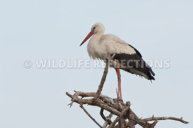 white_stork_perched201101