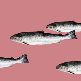 Fish on pink background.