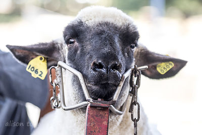 HR-Sheep-StateFairCA-2014-4853