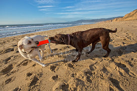 Two Labrador Retrievers Playing Tug of War