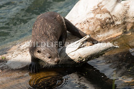 river_otter_pup_log_watching-5