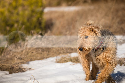 beautiful airedale terrier walking through snow and dried grass
