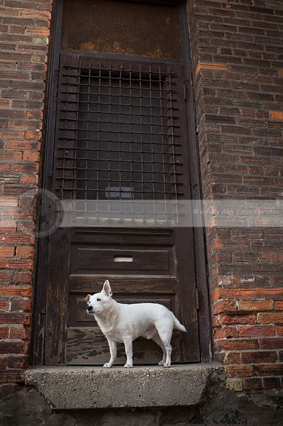 small white shorthaired terrier perched on doorstoop against brick  wall