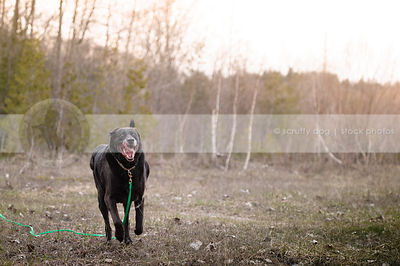 senior black retriever dog running in field