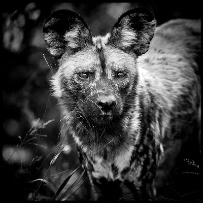 7633-Wild_dogs_Laurent_Baheux