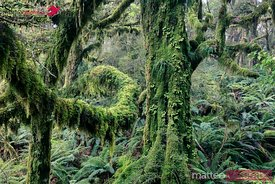 Mossy rainforest, Routebourn track, Fjordland National Park, New Zealand