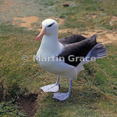 Adult Black-Browed Albatross (Thalassarche melanophrys), The Rookery, Saunders Island