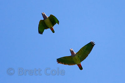 Scarlet macaws (Ara macao) flying near a copa (clay lick) on the Tambopata River, Peruvian Amazon