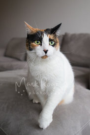 White Calico Cat with Green Eeyes Sitting on Sofa with Paw Raised