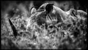 8736-Rhino_hidden_in_the_grass_Laurent_Baheux