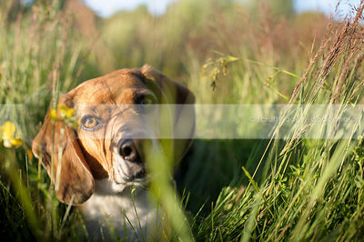 headshot of handsome beagle dog hiding in summer meadow