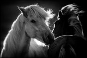 Yin and Yang horses, Iceland 2015 © Laurent Baheux