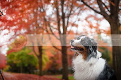 portrait of tricolor dog in colorful autumn trees