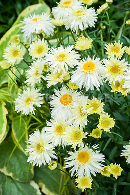 Leucanthemum x superbum 'Goldrausch' in the Vean Garden. Bosvigo, Truro, Cornwall, UK