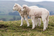 Yong texel lambs playing together in field. Yorkshire Dales, UK.