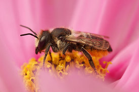Megachile species