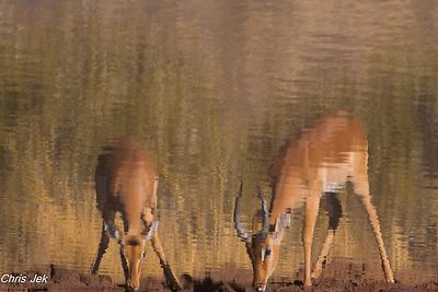 antilopes_impalas_(2)_-_Copy