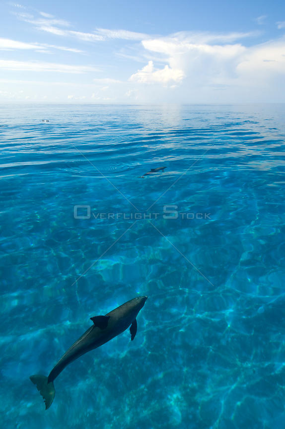 Bottlenose dolphins (Tursiops truncatus) in shallow water over a sand bank. Sandy Ridge, Little Bahama Bank, Bahamas. Tropical West Atlantic
