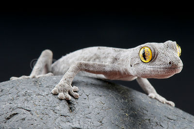 Western spiny-tailed gecko  (Strophurus spinigerus) photos