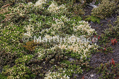 Christmas Bush (Baccharis magellanica), Carcass Island, Falkland Islands