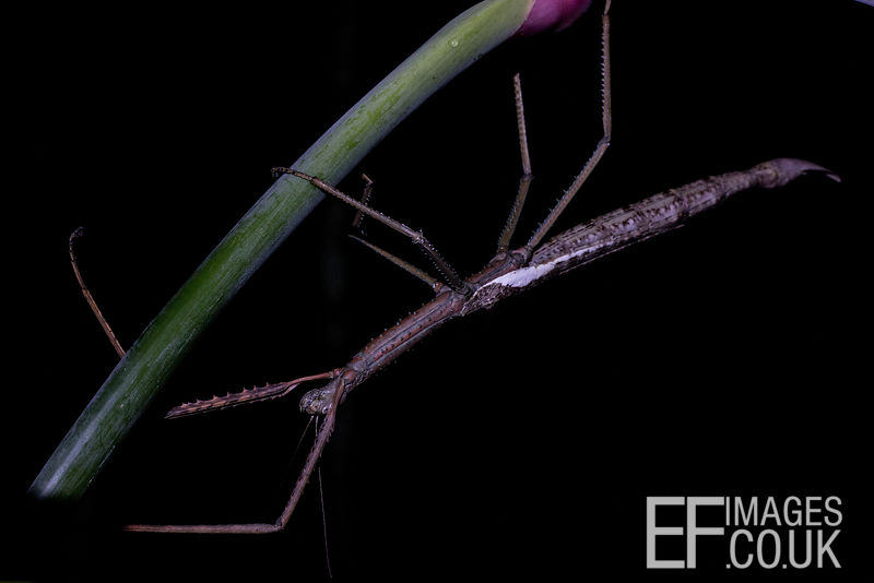 Giant Stick Insect Of Far North Queensland