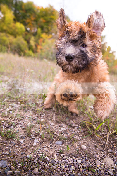 humorous fun tan puppy bounding running on gravel path