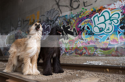 two afghan hound dogs standing in urban graffiti train tunnel