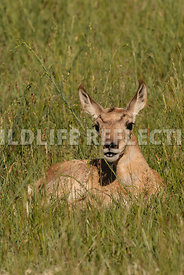 pronghorn_bedded_fawn_vertical