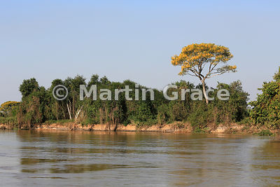 Spectacular yellow blossom of Vochysia divergens tree with other riverside trees, River Cuiabá, Northern Pantanal, Mato Grosso, Brazil