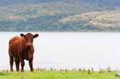 Luing cattle, a British native beef breed, on their home island of Luing on the Scottish West coast, UK.