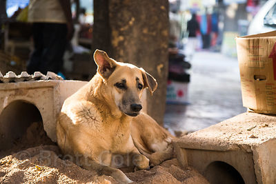 Street dog resting on a pile of sand, Delhi, India