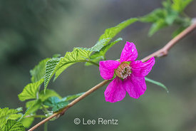 Salmonberry Blooming in the Washington Park Arboretum in Seattle