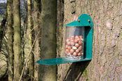 Feeder with Hazelnuts in woodland for Red Squirrels. Cumbria, UK
