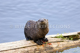River Otter Pup Look